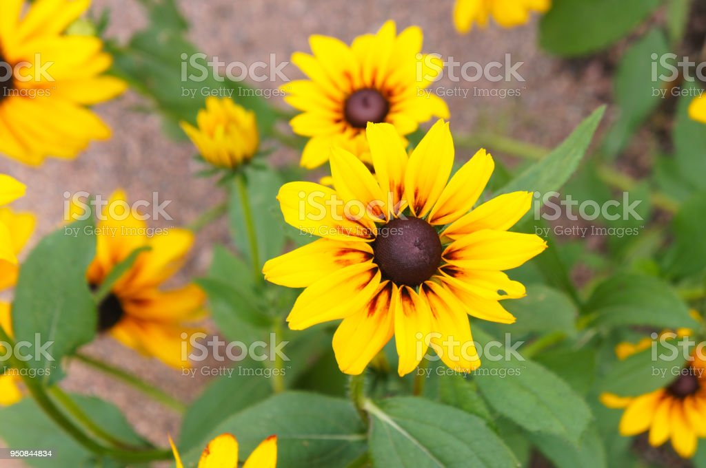 Rudbeckia hirta or black-eyed-Susanyellow flowers with green stock photo