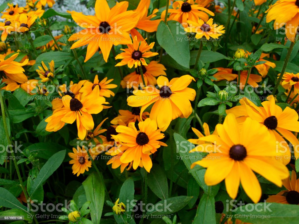 Rudbeckia hirta or susan black eyed flower many yellow flowers with green stock photo