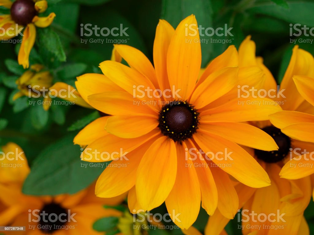 Rudbeckia hirta or susan black eyed flower yellow flowers with green stock photo