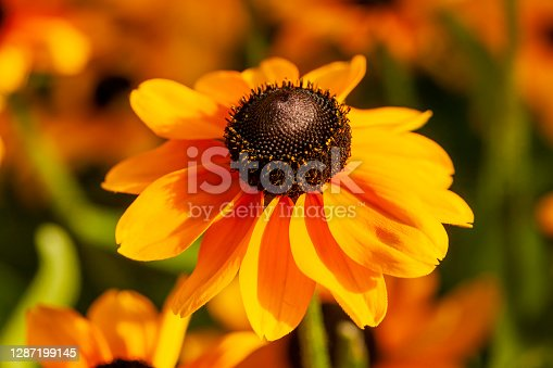Rudbeckia hirta 'Toto' a yellow orange herbaceous perennial summer autumn flower plant commonly known as Black Eyed Susan or Coneflower stock photo image