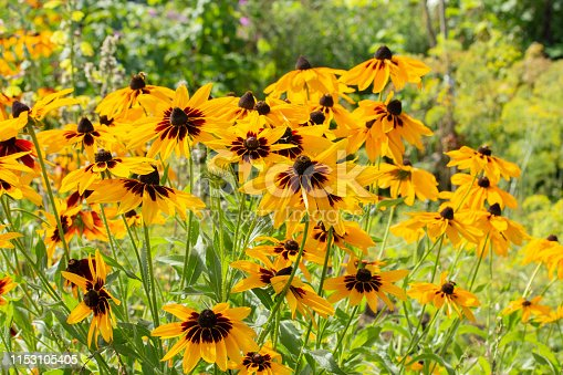 Rudbeckia hirta two-tone flowers yellow brown black black-eyed Susan. Beautiful garden flowers yellow high aster. Black-eyed Susan Rudbeckia hirta is the state flower of Maryland