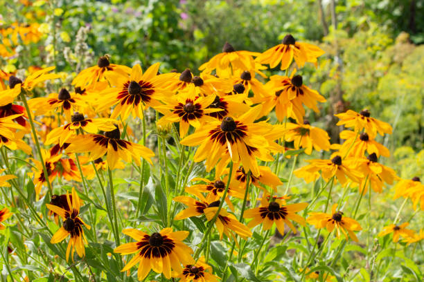 30 Maryland State Flower Pictures Stock Photos Pictures Royalty Free Images Istock