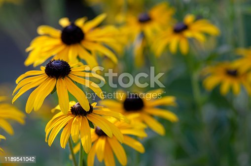 Rudbeckia hirta yellow flower with black brown centre in bloom, black eyed susan in the garden, bunch of flowering ornamental plants