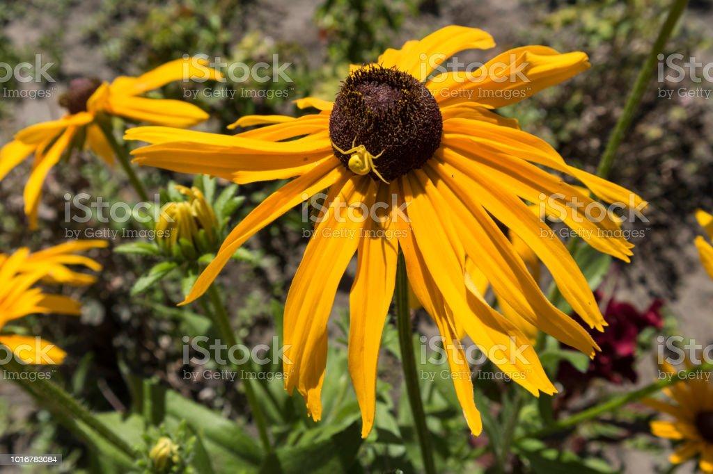ルドベッキア Hirta 黄色花黄色い花蜘蛛 - まぶしいのストックフォトや ...