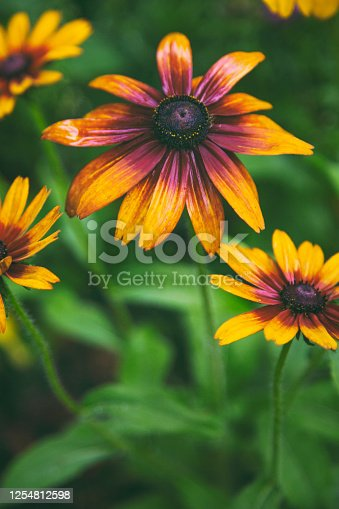Rudbeckia flowers close-up