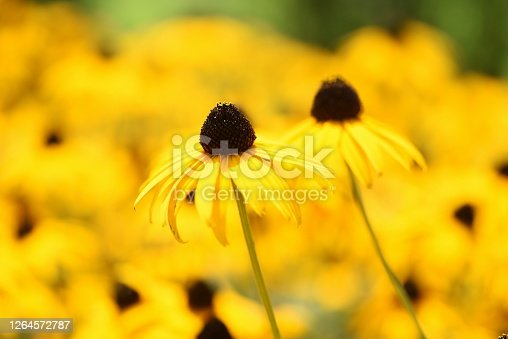 Rudbeckia is a flower of Asteraceae that produces bright yellow flowers in the summer and is also called Black-eyed Susan.
