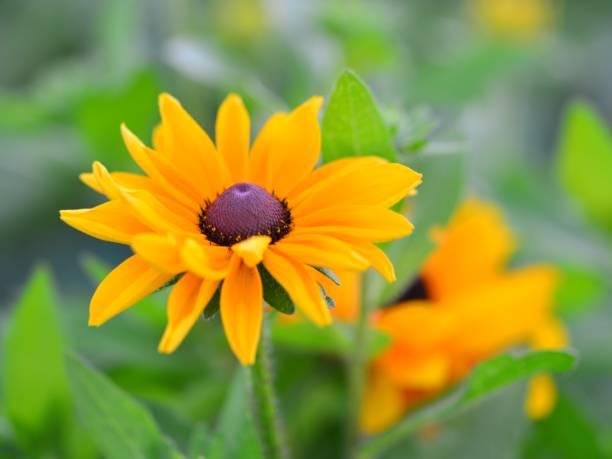 rudbeckia - angiospermas imagens e fotografias de stock