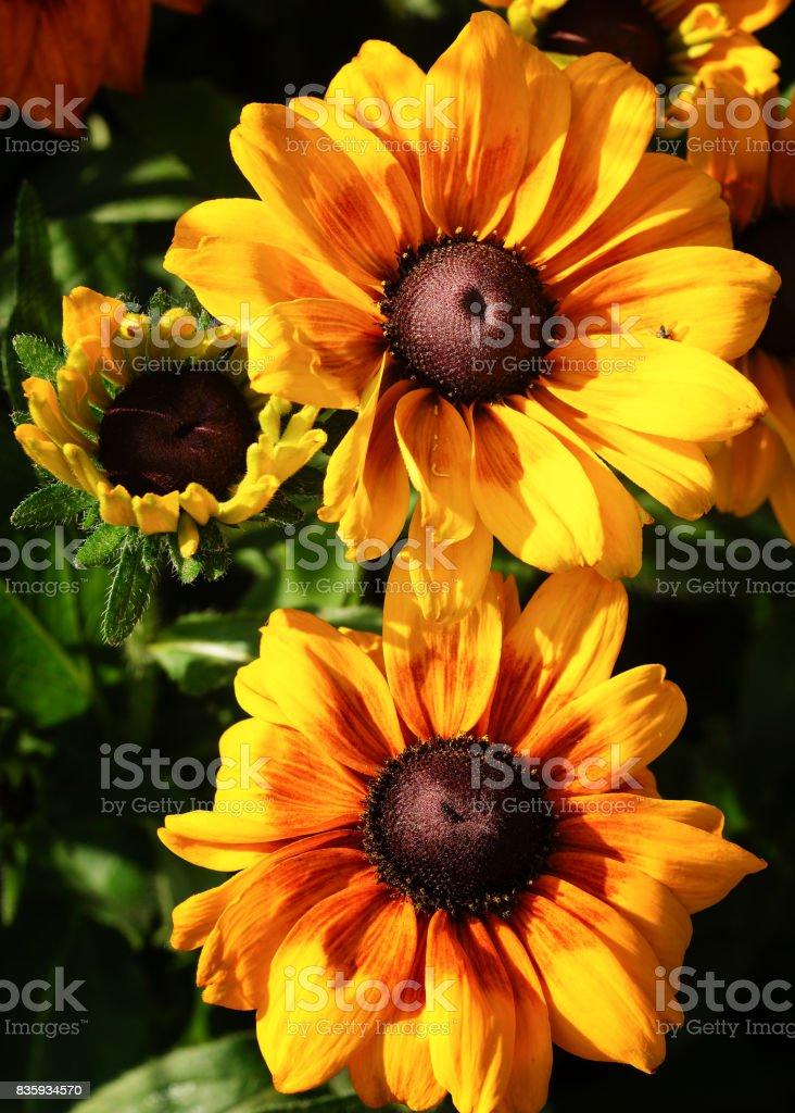 Rudbeckia Summerina (Rudbeckia Hybride), flowers of summer stock photo