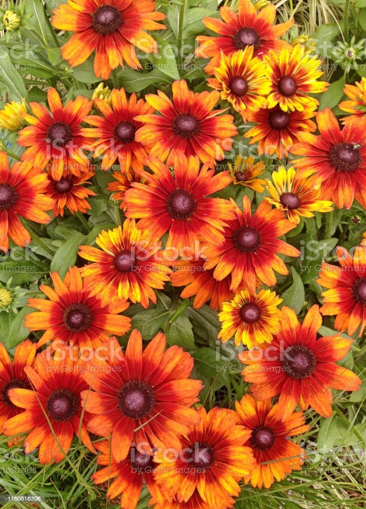 Rudbeckia Summerina flowers a field of Rudbeckia Summerina cone flowers in various shades of orange Autumn Stock Photo