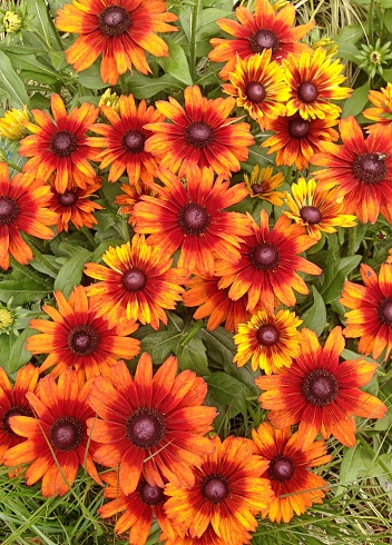 Rudbeckia Summerina Flowers Stock Photo - Download Image Now
