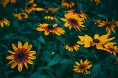 Rudbeckia flowers close-up