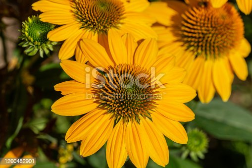 Rudbekia Yellow Daisy flowers in ornamental garden