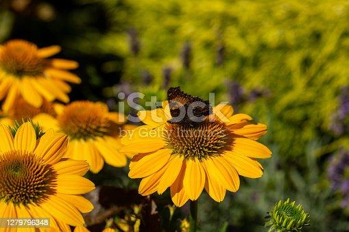 Rudbekia Yellow Daisy flowers in ornamental garden