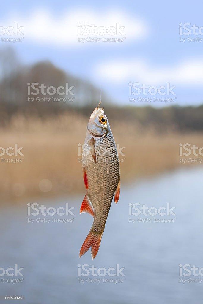 rudd caught on hook stock photo