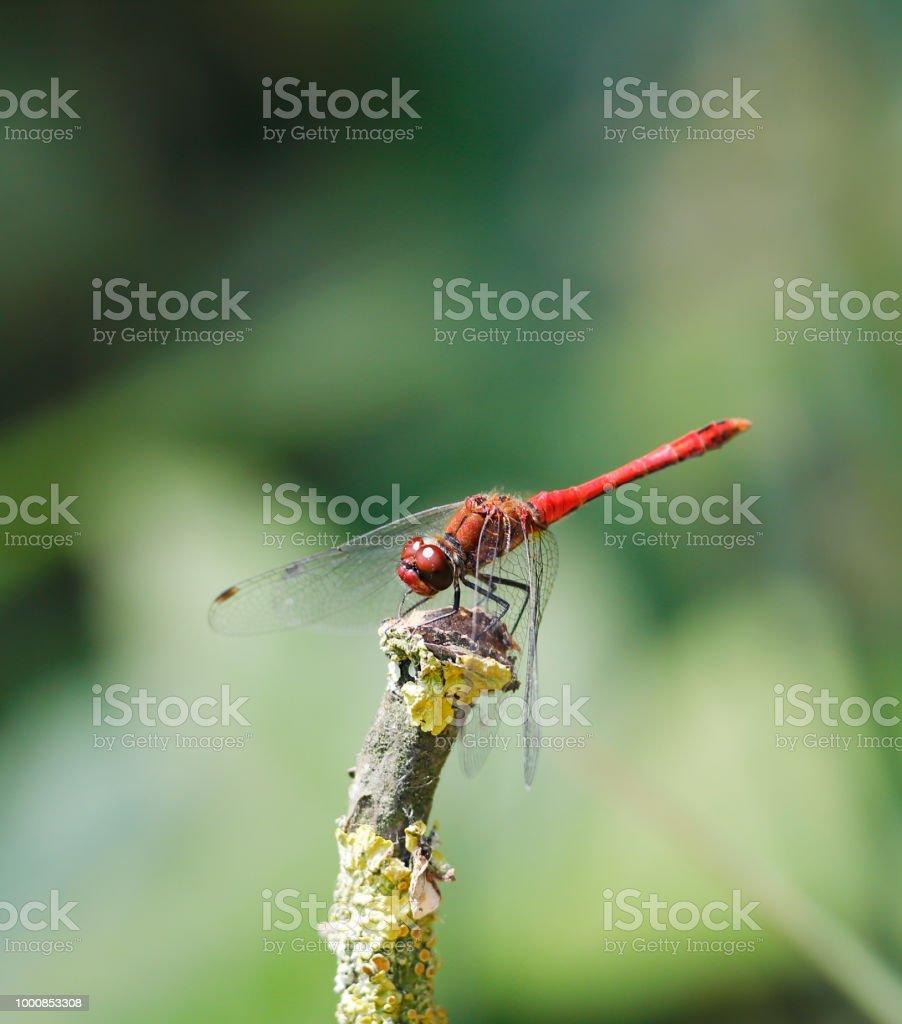 Bloedrode heidelibel Dragonfly (Sympetrum sanguineum) man foto