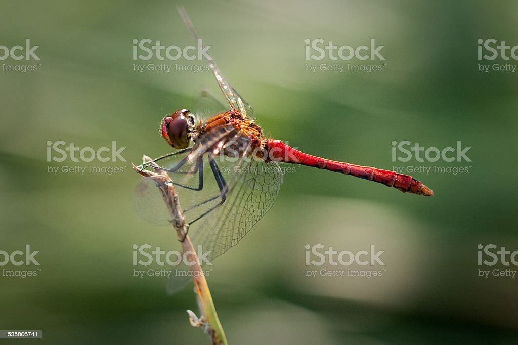 Ruddy Darter Dragonfly. stock photo