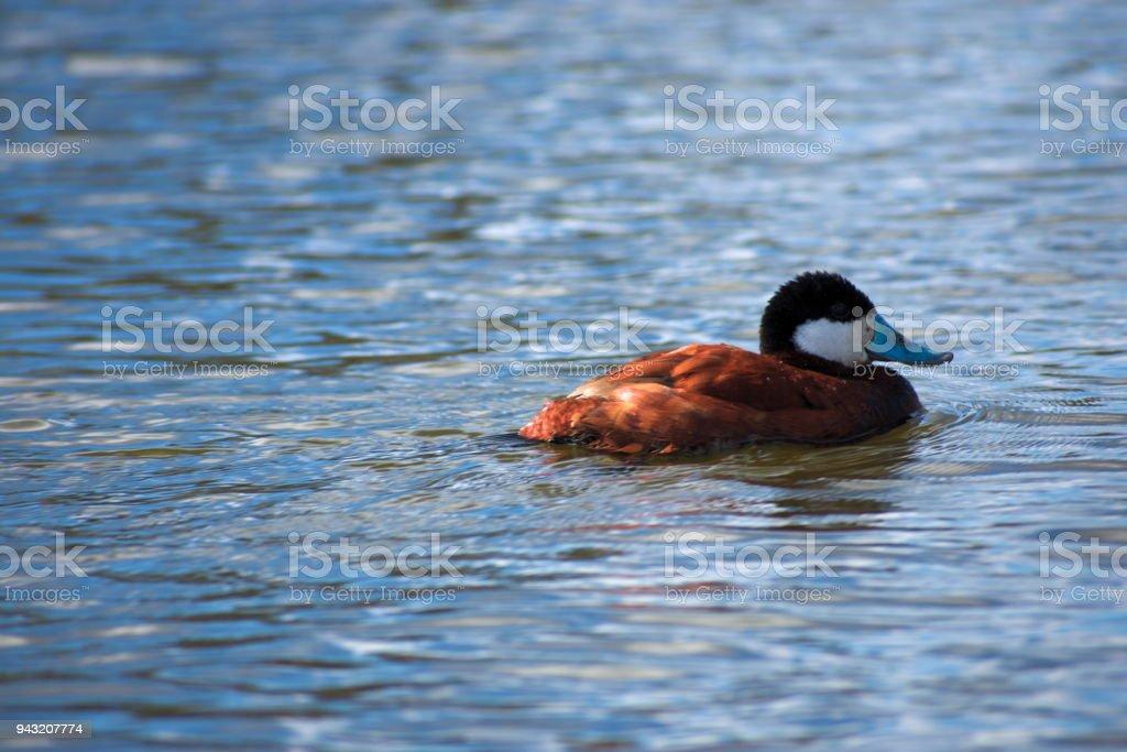 Ruddy Duck stock photo