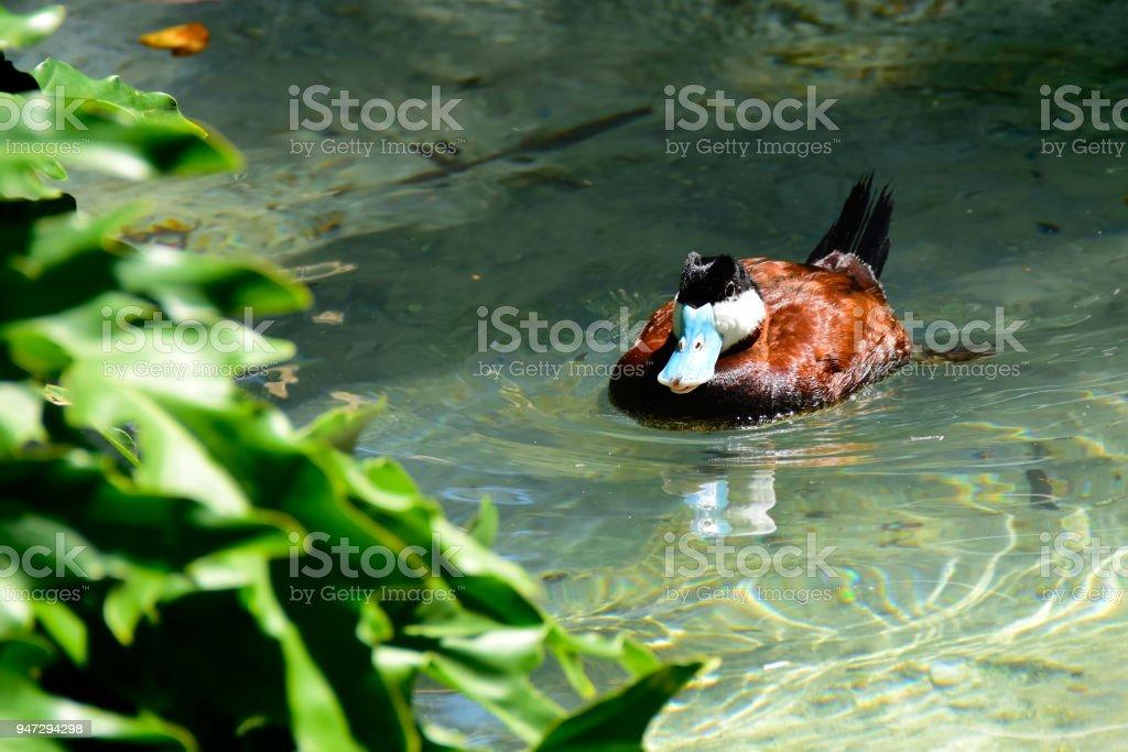 A Ruddy Duck swimming stock photo