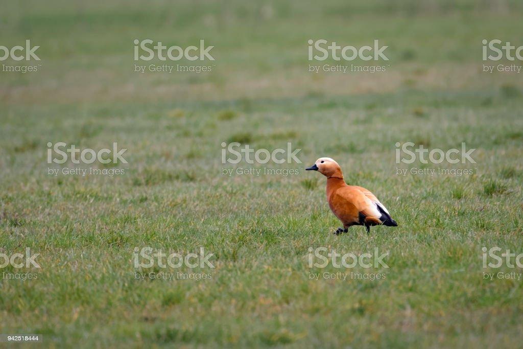 Ruddy shelduck in a field stock photo
