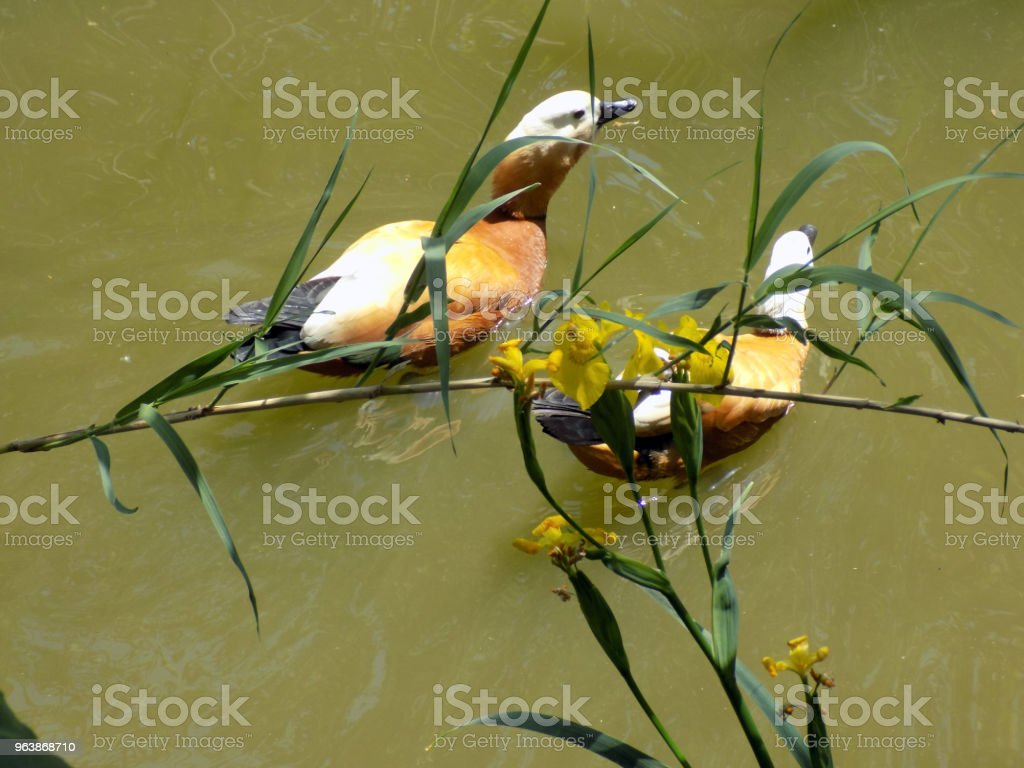Ruddy shelduck swim on the surface of the lake, among the yellow flag iris - Royalty-free Animal Stock Photo