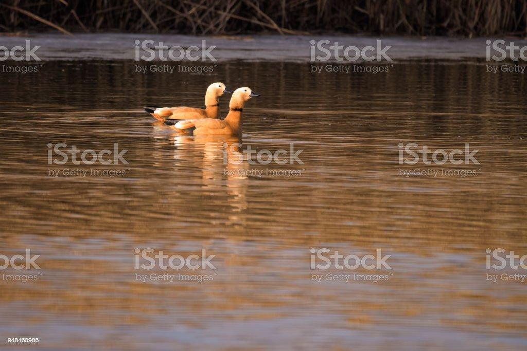 Ruddy shelducks swimming on a lake in the morning stock photo
