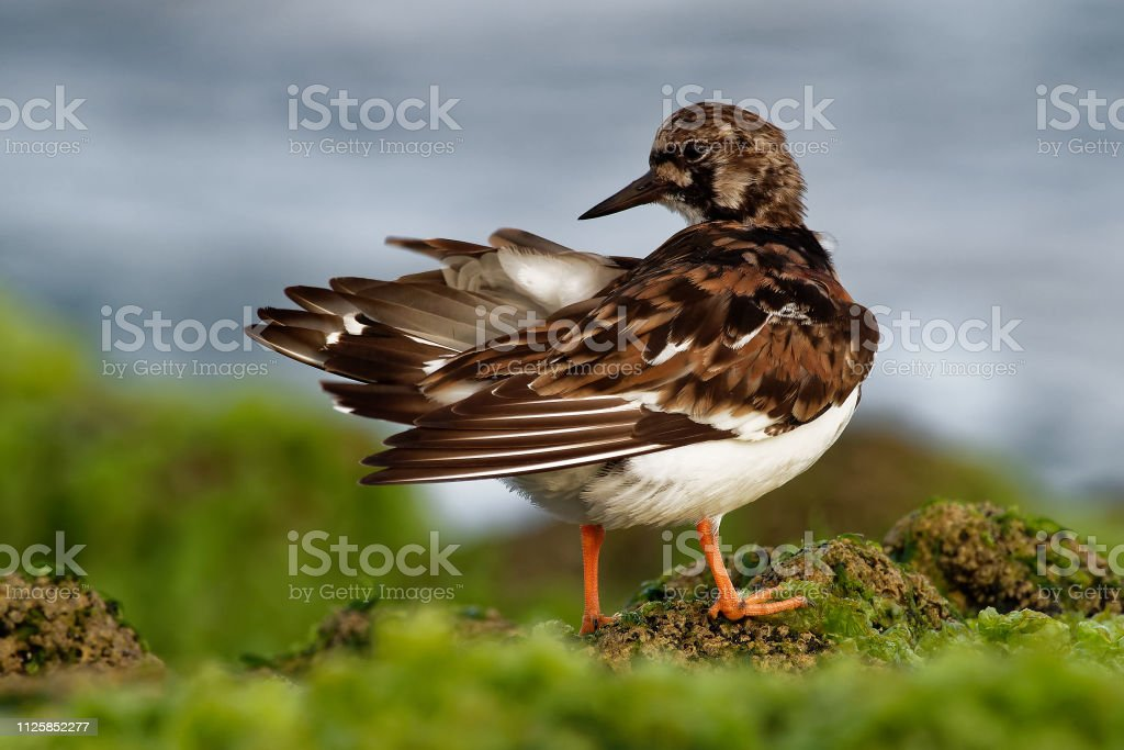 Ruddy Turnstone - Arenaria interpres on the rock above the sea stock photo