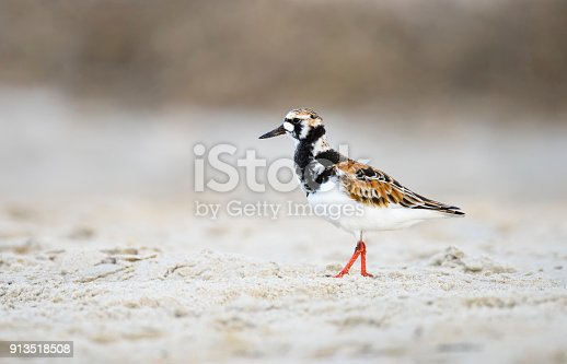Beautiful colors of ruddy turnstone bird as it walks on beach looking for food.