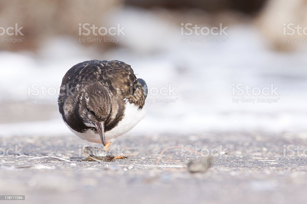 Ruddy Turnstone eating a clam stock photo