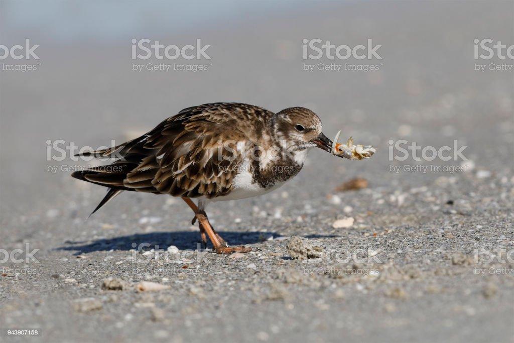 Ruddy Turnstone eating a crab - Fort DeSoto, Florida stock photo