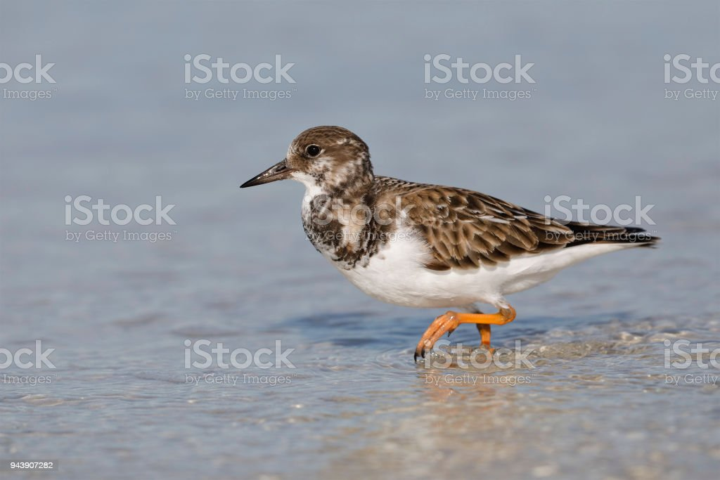 Ruddy Turnstone foraging in shallow water - Fort DeSoto, Florida stock photo