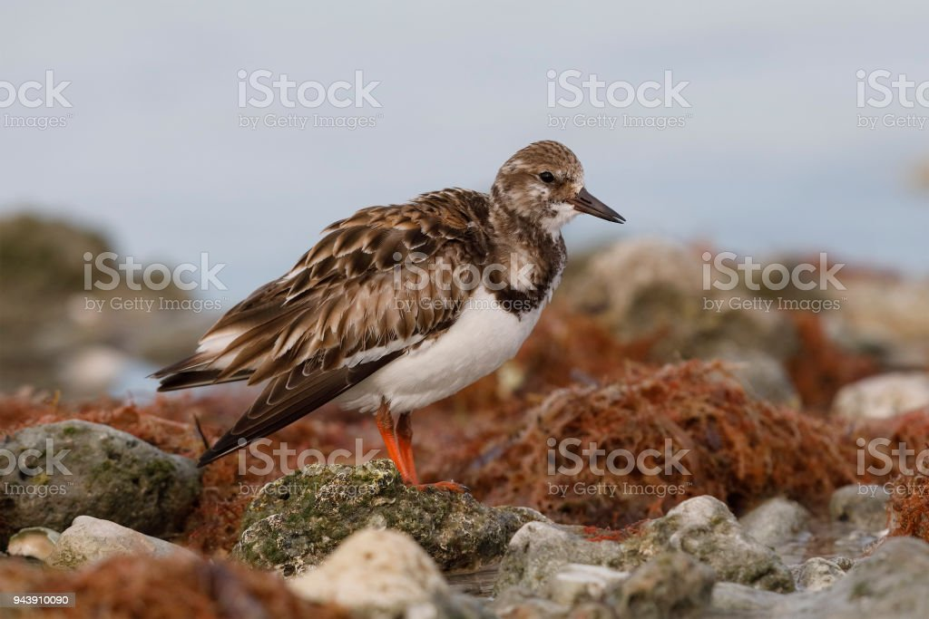 Ruddy Turnstone foraging on a beach stock photo
