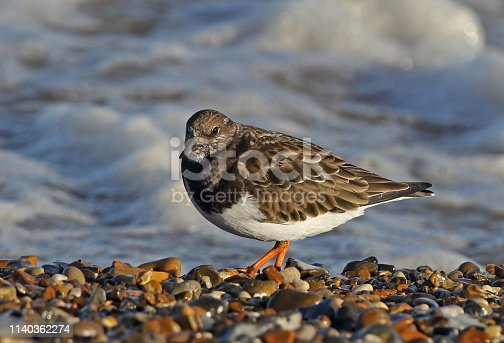Ruddy Turnstone (Arenaria interpres interpres) adult in winter plumage standing on shingle beach