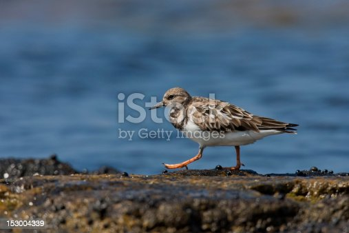 Ruddy Turnstone (Arenaria interpres interpres) in winter plumage foraging on a rocky beach.