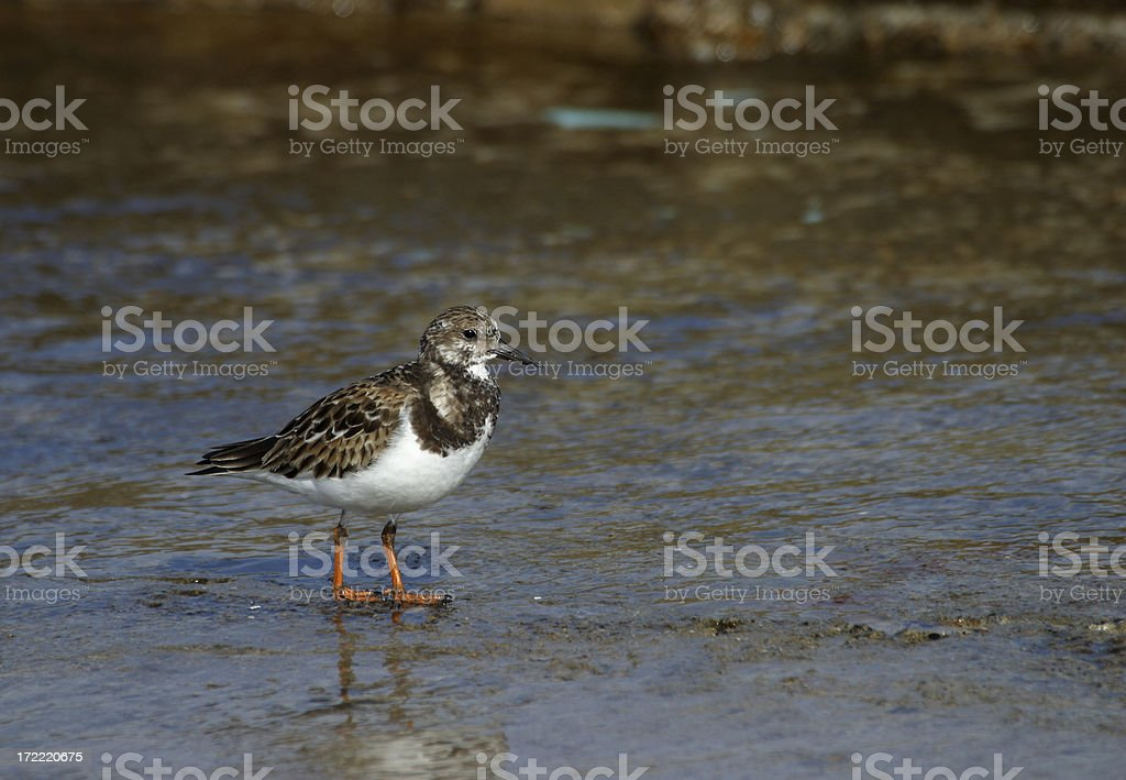 Ruddy Turnstone royalty-free stock photo