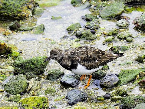 A Ruddy Turnstone (Arenaria interpres) searches a rocky shore for food in the harbour in St Malo, northern France