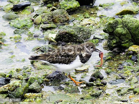 A Ruddy Turnstone (Arenaria interpres) uncovers a large lugworm (Arenicola marina) in the harbour in St Malo, northern France