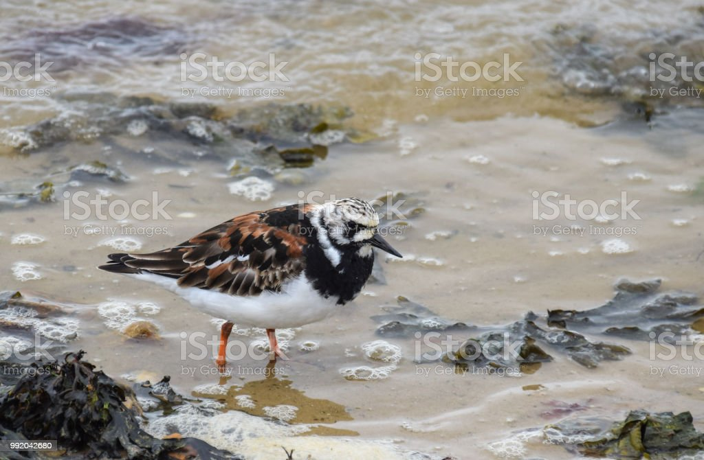 A Ruddy Turnstone walks through the waves at the seafront att Lepe stock photo
