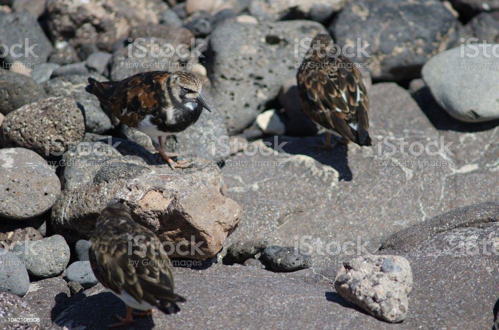 Turnstones corados. - foto de acervo