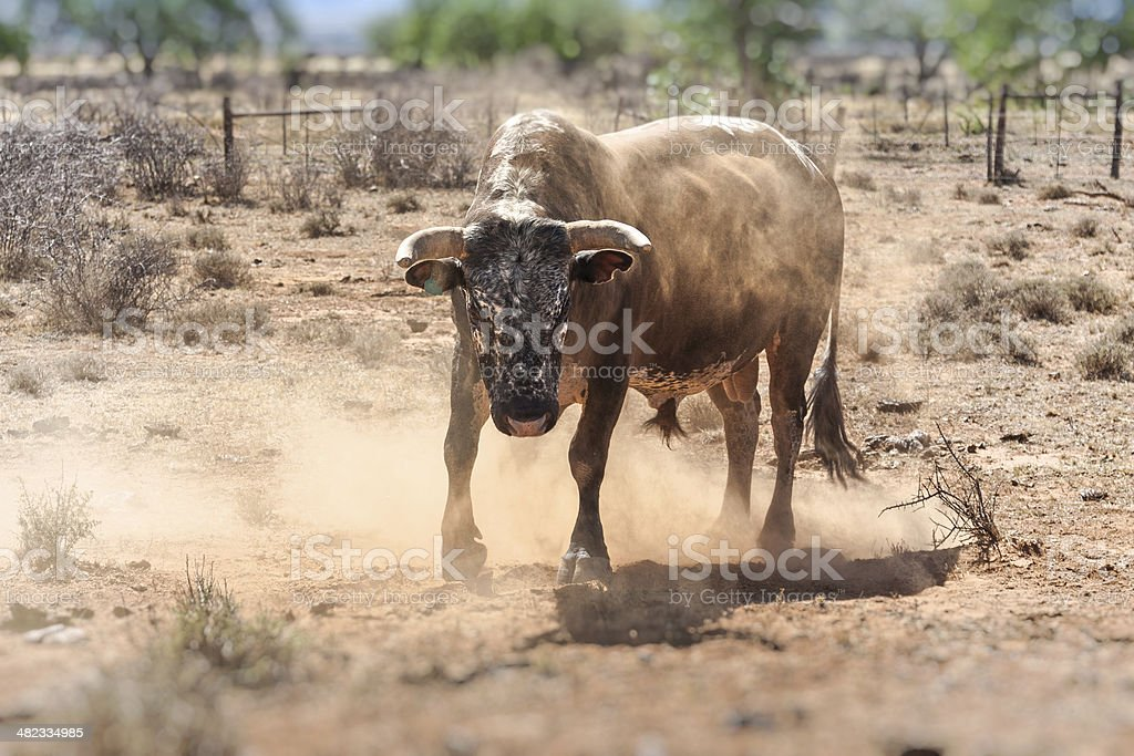 rude bull standing and ready to attack stock photo