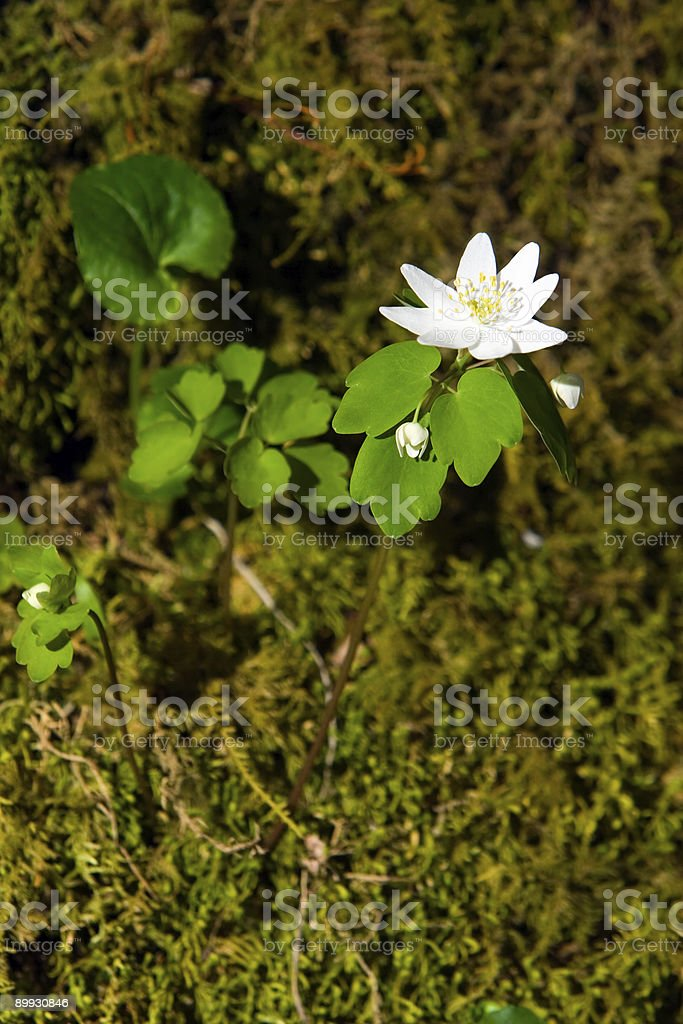 Rue Anemone Thalictrum Thalictroides in the Smoky Mountains royalty-free stock photo