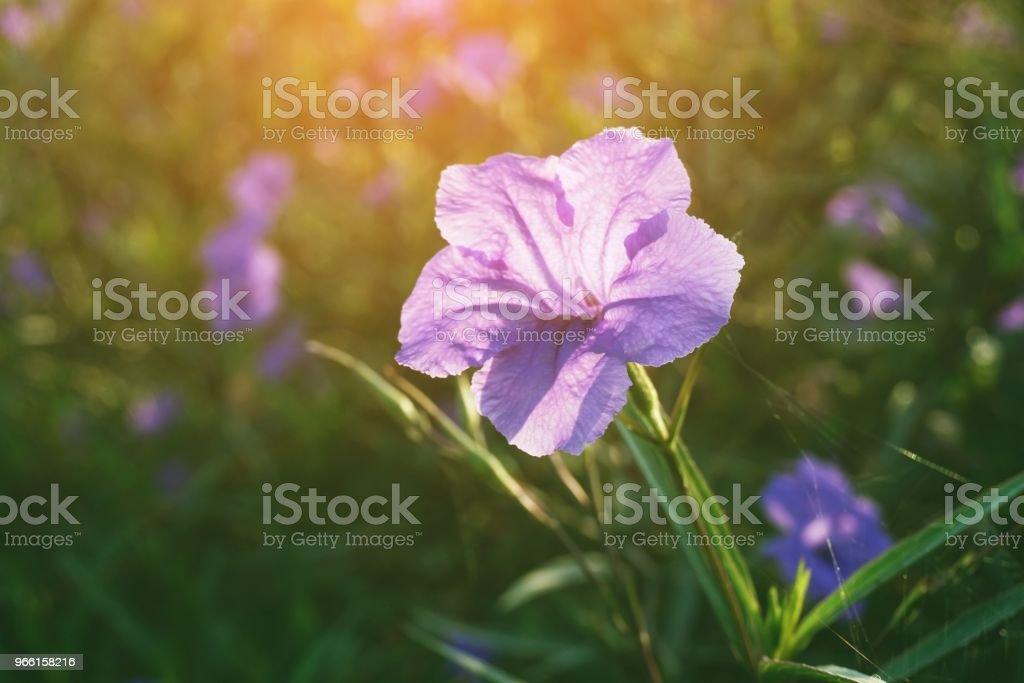 ruellia tuberosa bloem in natuur tuin - Royalty-free Blad Stockfoto
