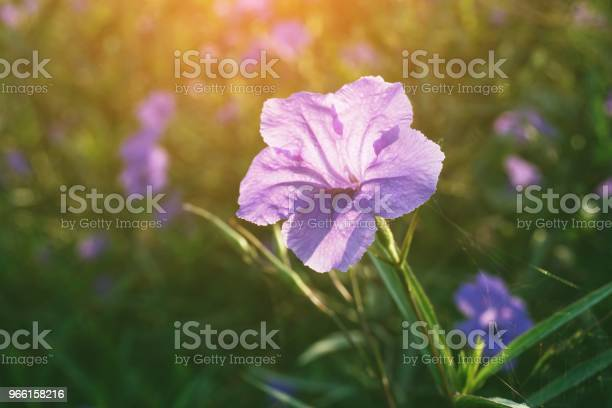 Ruellia Tuberosa Цветок В Саду Природы — стоковые фотографии и другие картинки Без людей