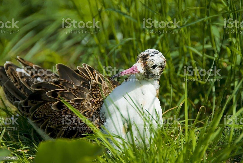 Ruff bird Philomachus pugnax royalty-free stock photo