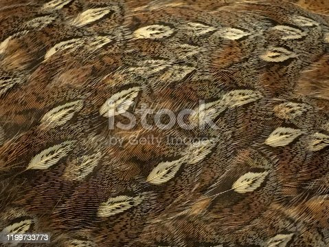 A full frame abstract background image of Ruffed Grouse feathers with a beautiful bright orange variation in Autumn.  This is the natural camouflage pattern of this bird.