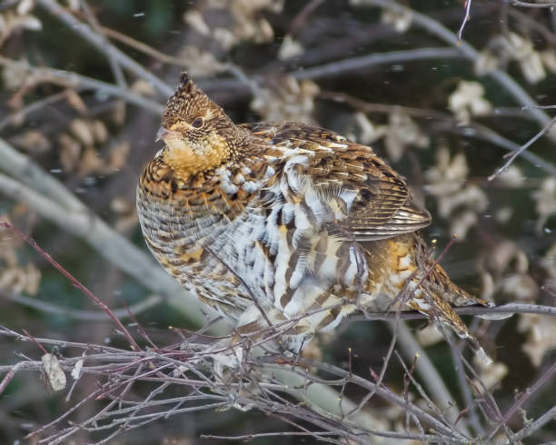 Ruffed grouse perched in a tree - taken on an overcast snowing winter day in Aitkin County, Minnesota Ruffed grouse perched in a tree - taken on an overcast snowing winter day in Aitkin County, Minnesota bird hunting stock pictures, royalty-free photos & images