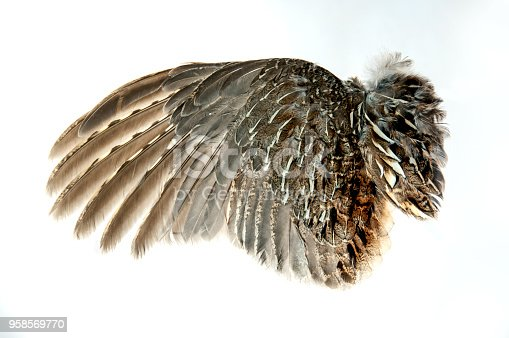 Ruffed Grouse wing with open feathers on white