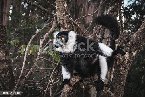 istock Ruffed lemur 1039227110