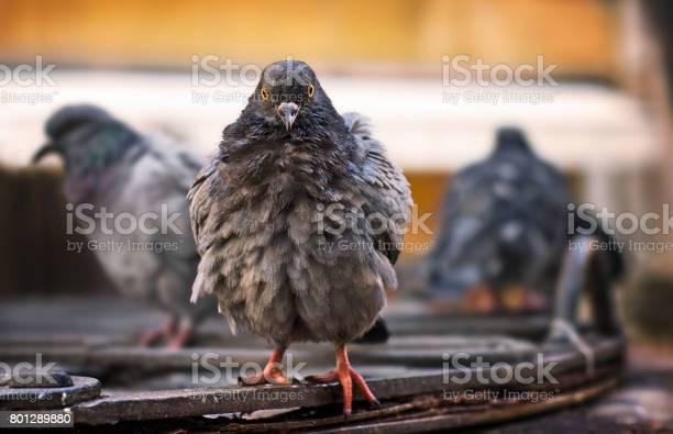 Ruffled wood pigeons after rain venice italy picture id801289880?b=1&k=6&m=801289880&s=612x612&h=dhpyhljujhqiud5e3kruk98o7rui72uexjuypkjnyuo=