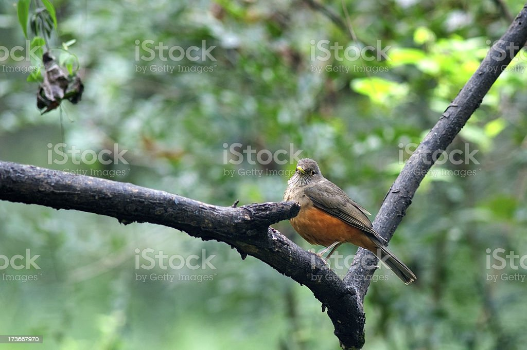 Turdus rufiventris royalty-free stock photo
