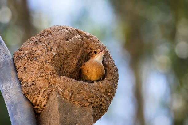Rufous hornero in its clay nest – Foto